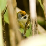 Black-throated Parrotbill