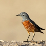 Common Rock Thrush