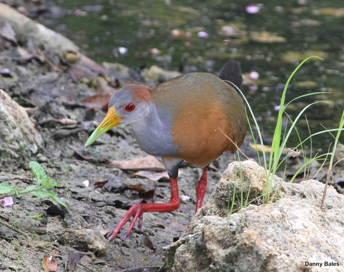 Rufous-naped Wood Rail
