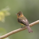 Northern Tufted Flycatcher