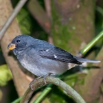 Temminck's Seedeater