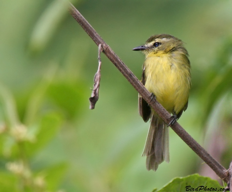 Yellow Tyrannulet