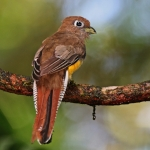 Black-throated Trogon