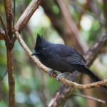 Tufted Antshrike