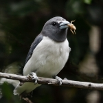 Woodswallows, Butcherbirds and allies