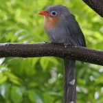Red-billed Malkoha