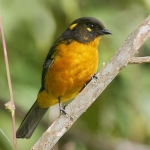 Lacrimose Mountain Tanager