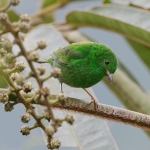 Glistening-green Tanager