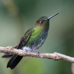 Greenish Puffleg