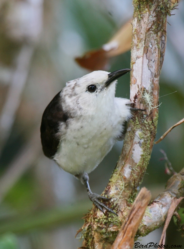 White-headed Wren