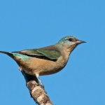 Black-legged Dacnis