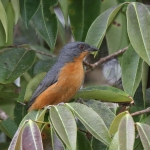 Rufous-crested Tanager
