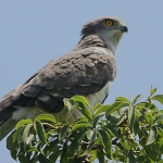 Beaudouin's Snake Eagle