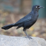 Greater Antillean Grackle