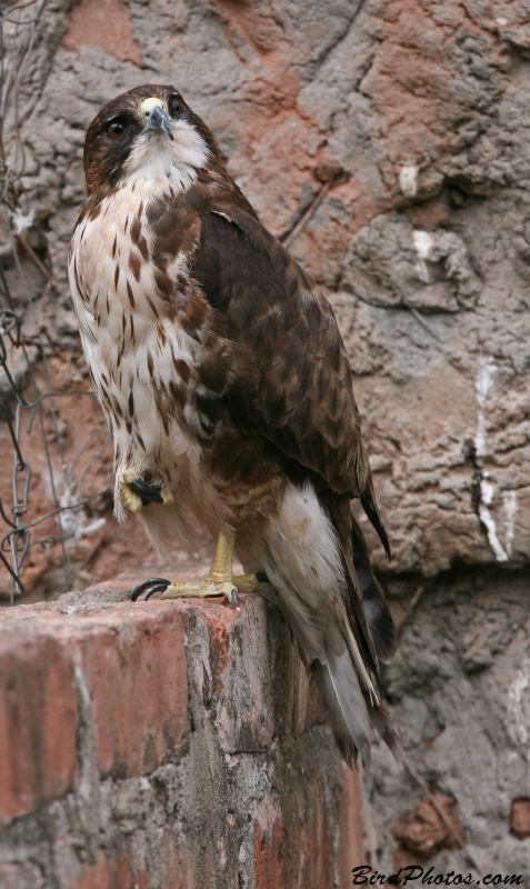 White-throated Hawk
