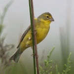 Grassland Yellow Finch
