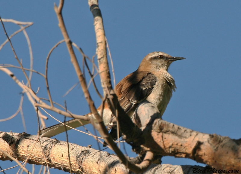 Brown-backed Mockingbird