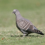 Spot-winged Pigeon