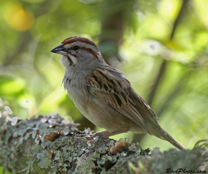 Stripe-capped Sparrow