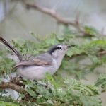 Gnatcatchers