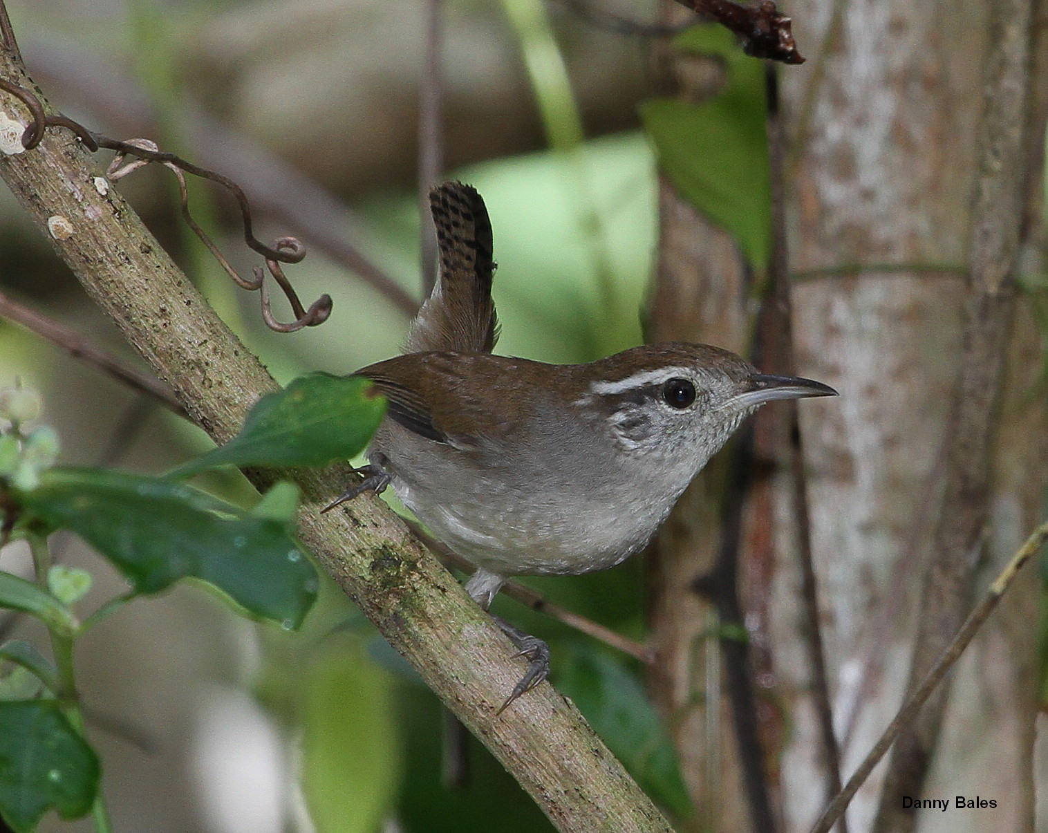 White-bellied Wren