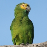 Turquoise-fronted Amazon
