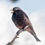 Black Rosy Finch