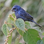 Ultramarine Grosbeak