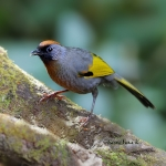 Silver-eared Laughingthrush