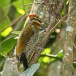Yellow-browed Woodpecker