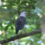 White-necked Hawk