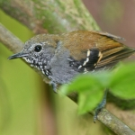 Star-throated Antwren