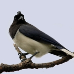 Curl-crested Jay