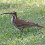 Scimitar-billed Woodcreeper
