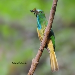 Blue-bearded Bee-eater