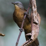 Ashy-headed Laughingthrush