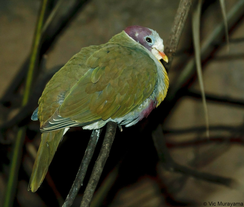 Yellow-breasted Fruit Dove