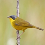 Southern Yellowthroat