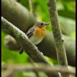 Rufous-chested Flycatcher
