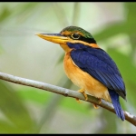 Rufous-collared Kingfisher