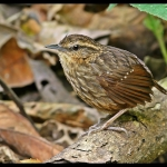 Eyebrowed Wren-Babbler