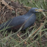Rufous-bellied Heron