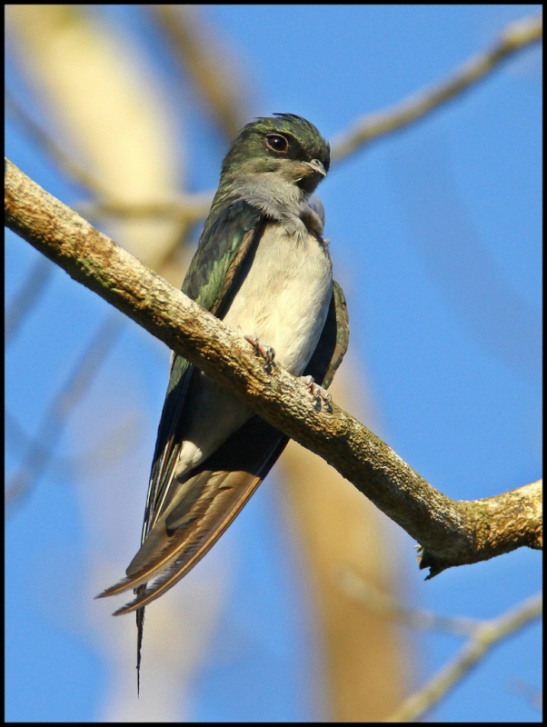 Grey-rumped Treeswift