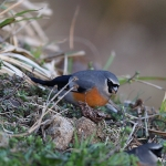 Grey-headed Bullfinch