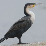 White-breasted Cormorant