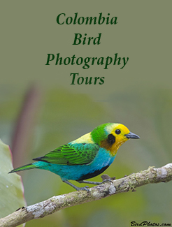 Colombia Bird Photography Tours